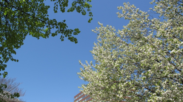 Apple trees blossoming in Kendall Square, near MIT.