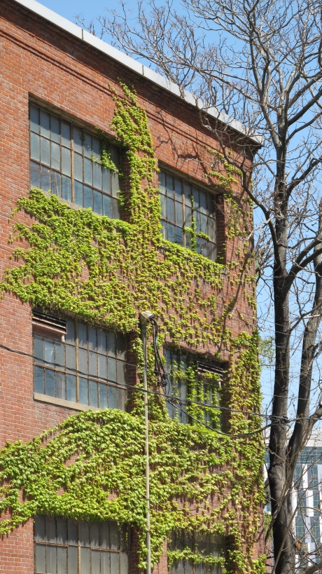 Springtime greenery on an MIT building.