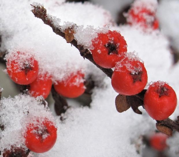 Cotoneaster berries in the snow. (credit: own photo)