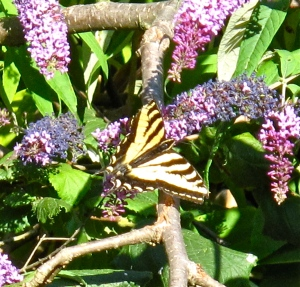 Butterfly on a butterfly bush: a swallowtail visits a buddleia in the backyard. (credit: own photo)