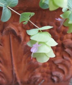 Flowering oregano, July 2015. (credit: own photo)